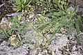 Anthyllis vulneraria-2990.jpg