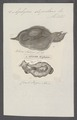 Aplysia depilans - - Print - Iconographia Zoologica - Special Collections University of Amsterdam - UBAINV0274 081 02 0003.tif