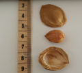 Apricot kernel centimeter scale.png