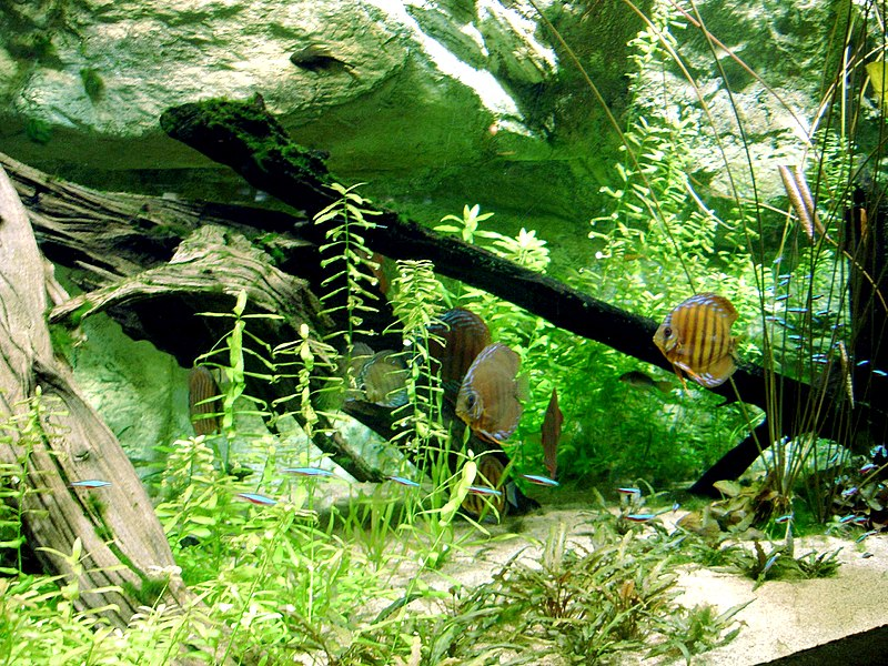 File aquarium tropical discus jpg wikimedia commons - Aquarium tropical de la porte doree ...