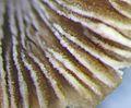 Aquatic fungus champignonAquatique à lamelles Moyenne-Deûle mai 2016 F.Lamiot dans eau 5642.jpg