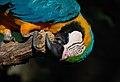 Ara ararauna -chewing wood -Birmingham Zoo -USA-6.jpg