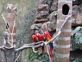 Ara macao -Henry Doorly Zoo -3.jpg