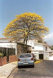 <i>Tabebuia chrysantha</i> species of plant