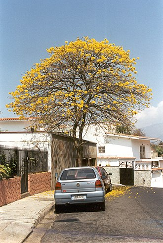 Handroanthus - Araguaney (Handroanthus chrysanthus) tree on a Caracas street