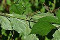 Araignées, insectes et fleurs de la forêt de Moulière (Le Gâchet de Villiers) (29052275241).jpg
