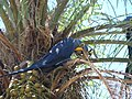 Arara-azul - Anodorhynchus hyacinthinus - panoramio.jpg