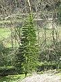 Araucaria columnaris La Granja Mallorca.jpg