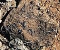 Archaeocyathan limestone (Ajax Limestone, Lower Cambrian; Mt. Scott Range, South Australia) 9.jpg
