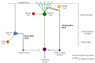 Neural pathway - Neural pathways of cerebellar cortex