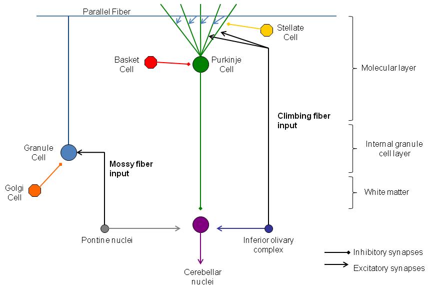 Architecture of the 3 layers in the cerebella cortex