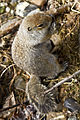 Arctic Ground Squirrel (7956345350).jpg