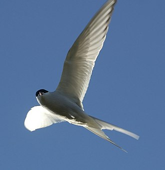 Common tern - This Arctic tern shows the all-red bill, greyer underparts, translucent flight feathers, and narrow black border to the wings which separate it from the common tern.