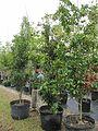 Ardisia Escallonioides (Marlberry) Bush (28844038426).jpg