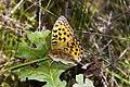 Argynnis adippe - High brown fritillary (6269056449).jpg
