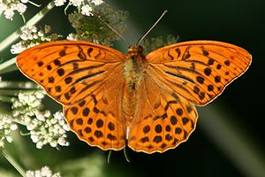 Heliconiinae - Male of the silver-washed fritillary (Argynnis paphia), type species of Argynnis and the Argynnini