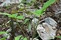 Arisaema triphyllum Arkansas.jpg