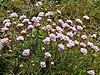 Armeria maritima (plants).jpg