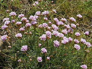 Strand-Grasnelke (Armeria maritima subsp. maritima)