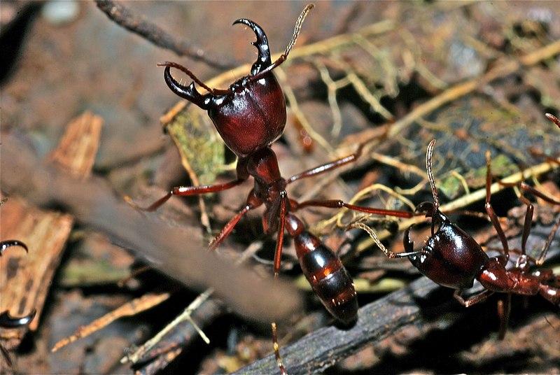 File:Army Ants (Dorylus sp.) (7073859635).jpg