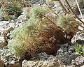Artemisia arborescens 17082001 var 2.jpg