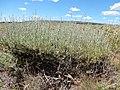 Artemisia arbuscula (28322960374).jpg