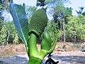 Artocarpus heterophyllus 10.jpg