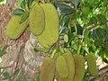 Artocarpus heterophyllus fruit Laos.jpg