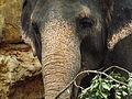 Asian Elephant 05.jpg