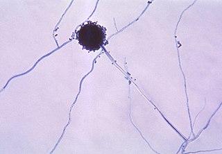 <i>Aspergillus</i> Genus of fungi