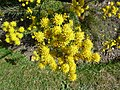 "Aster linosyris ""Goldilocks Aster"" (Asteraceae) (flower).JPG"