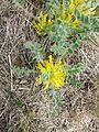 Astragalus exscapus sl14.jpg