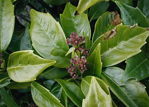 Aucuba japonica: Flowers and leaves.