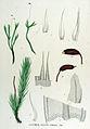 Aulacomnion palustre — Flora Batava — Volume v15.jpg