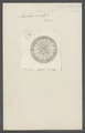 Aurelia aurita - - Print - Iconographia Zoologica - Special Collections University of Amsterdam - UBAINV0274 110 08 0002.tif