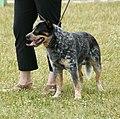 Australian Cattle Dog blue.JPG