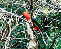 Australian King Parrot (31940705040).jpg