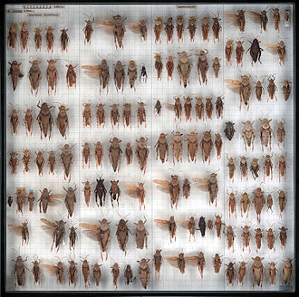 Conservation and restoration of insect specimens - Buforaniidae grasshoppers (Orthoptera) from the Australian National Insect Collection