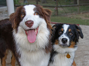 Dusty and Tucker Australian Shepherds
