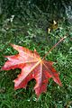 Autumn leaf in the grass.jpg