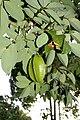 Averrhoa carambola (Oxalidaceae) – Star fruit - Carambola (32440660702).jpg