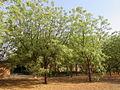 Azadirachta indica planted in Afri.jpg