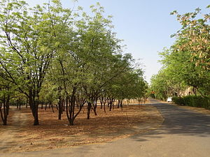 Arid Forest Research Institute - Azadirachta indica in main campus