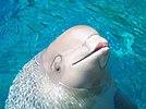 Baby Beluga Whale.jpg