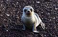 Baby Galapagos sea lion Rabida.jpg