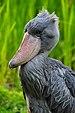 Balaeniceps rex - Weltvogelpark Walsrode 2010-09-18.jpg
