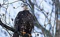 Bald-eagle-23b.jpg