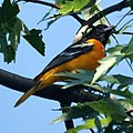 Baltimore Oriole (Male) (4658366174).jpg