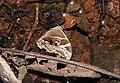 Bamboo Treebrown Lethe europa by Raju Kasambe DSCN1376 (5).jpg