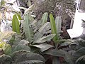 Banana tree leafs.jpg